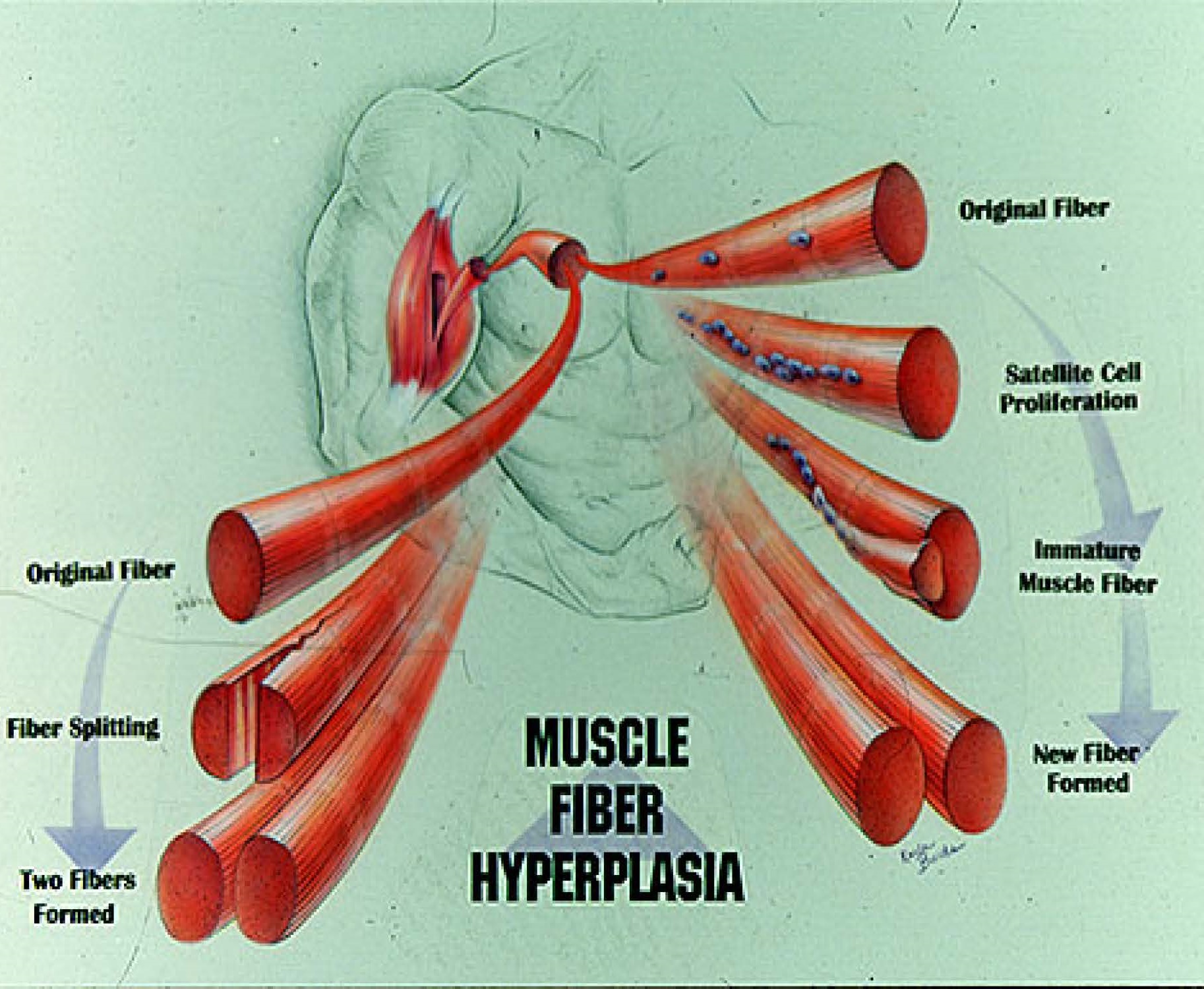 skeletal muscle fiber hyperplasia | the issn scoop, Muscles